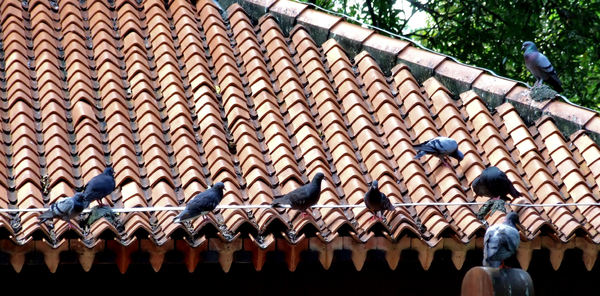 roof pigeons1: pigeons resting on building roof edge
