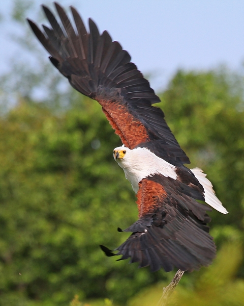African Fish Eagle Wings: African Fish Eagle in flight making a beautiful turn