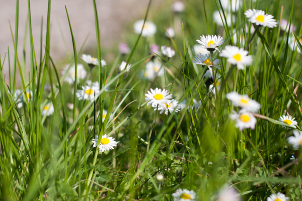 Daisies: Daisies in the gren grass