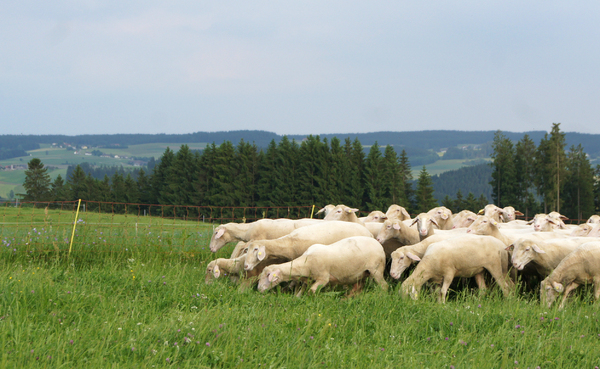 sheep flock 1