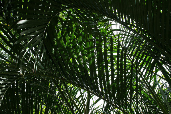 Coconut fronds: Fronds of a coconut palm in southern China.