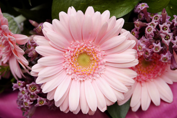 gerbera: bouquet with nice pink gerbera in the middle