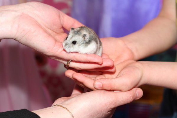 aaww: little hamster hold by hands of a child and a careful mother