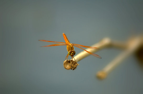 Dragon fly  1: Dragon fly