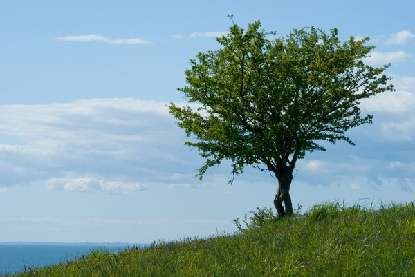 Tree on Green Hills: Tiny tree on green hills of Hammar, Skåne, Sweden.