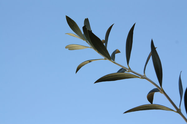olive branch-01: olive branch and blue sky