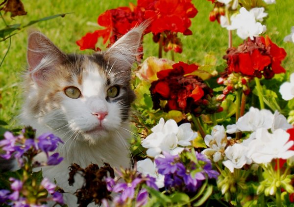 Cat in flowers: Maine Coons