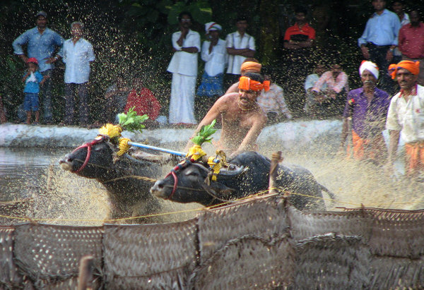 Take off: Kambala or Kambla is a traditional simple buffalo race in muddy waters, mostly a paddy field. It is the native sport of Tulu Nadu region of South India.