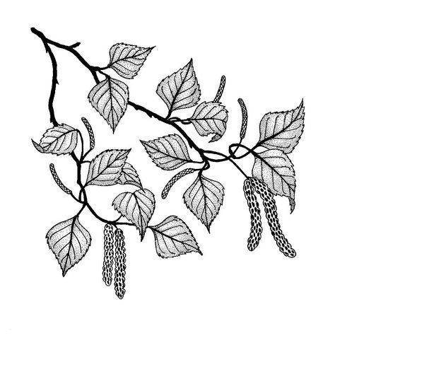 birch branch: This is one of my ink drawings
