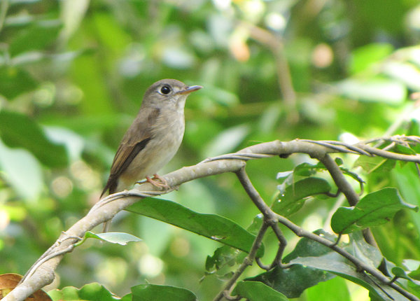 Brown-breasted Flycatcher: Brown-breasted Flycatcher resting in the dense jungles of the Western Ghats of India.