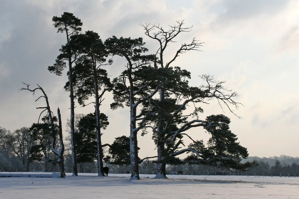Winter stand: A stand of snowy conifers with a sheltering cow in West Sussex, England, in winter.