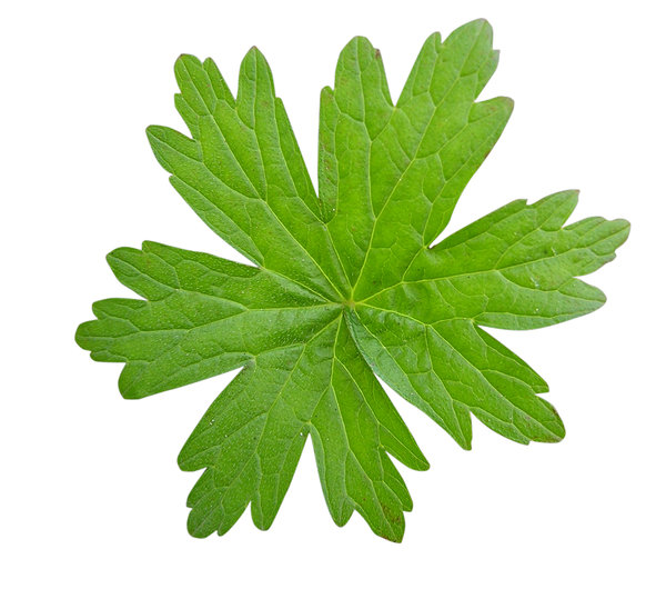 Leaf: Green leaf.