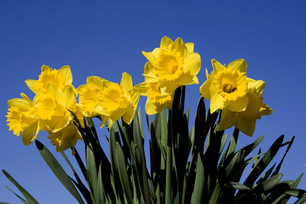 Daffodils 2: Yellow daffodils isolated against a blue sky.