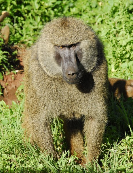 Baboon agression