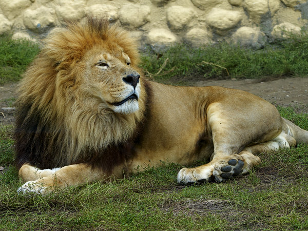 Resting lion: Male lion resting in Gyor Zoo