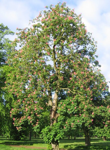red chestnut tree