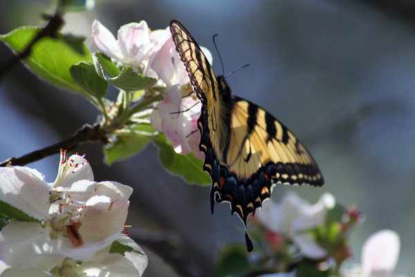 BUTTERFLY ON APPLE TREE: TIGER SWALLOWTAIL BUTTERFLY ON ONE OF MY APPLE TREES(GRANNY SMITH)