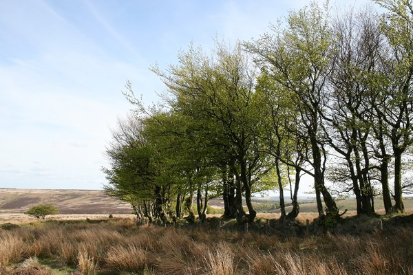 Trees on Exmoor: Old banked trees forming a field boundary on Exmoor, Devon, England.
