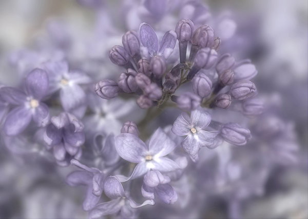 Dreamy  Lilac 2: A soft closeup of a lilac. reedited version