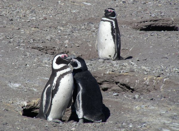 jelaous: penguins in Argentina