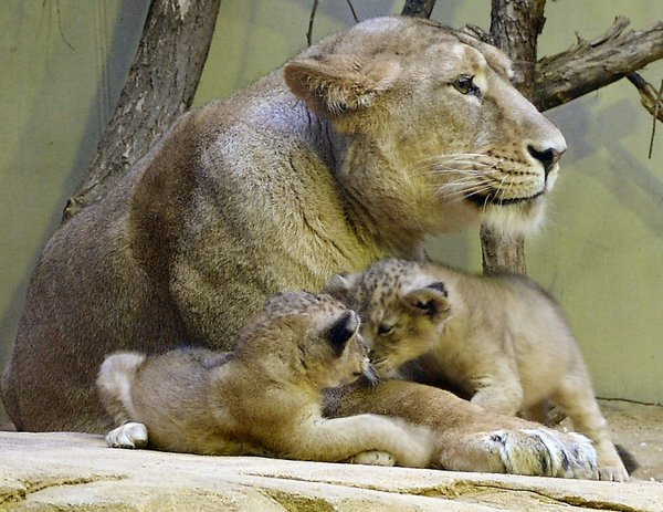Good Morning Kids! (Lion Mom): Lion mom with two kids ( 3 weeks old ), picture taken at Frankfurt Zoo 2/2004.They might be grown up by now. Come and see !