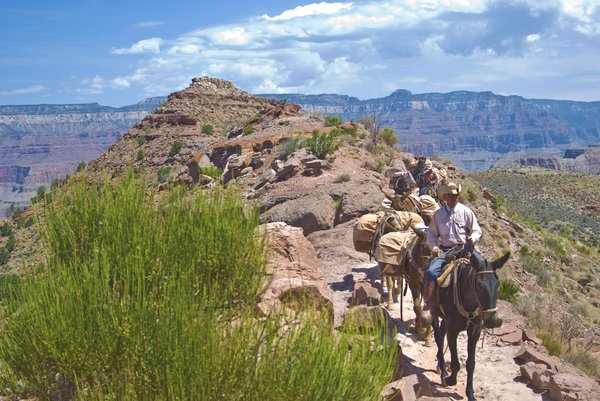 Marlboro Man: A cowboy leads a mule train up the Kaibob Trail in Grand Canyon National Park A little ways up from Skeleton Point. There is no Model Release on this, so please don't. use it for public work. I have other versions available in Hi-Res that are usable for a