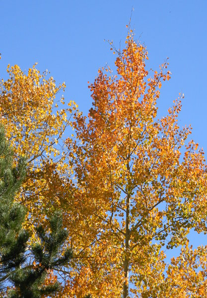 Colorado Aspen: The changing aspen leaves up past Leadville, not far from Red Cliff, CO. September 2010.