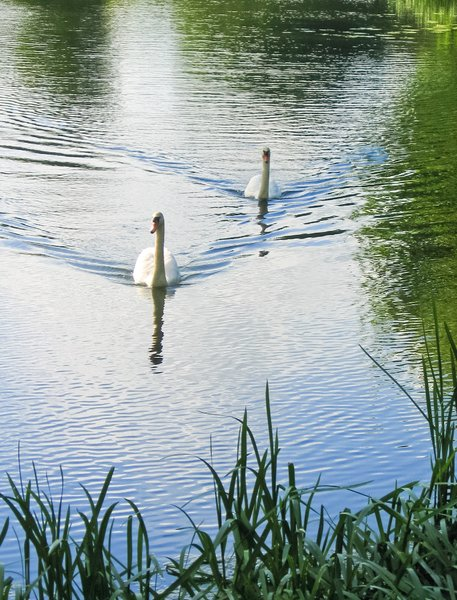 a pair of swans: a pair of swans