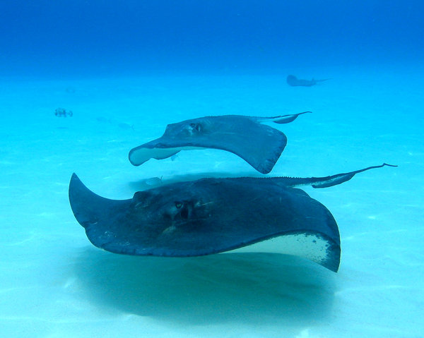 Grand Cayman: Snorkling with Stingrays at Stingray City in Grand Cayman