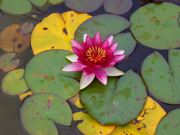 Water Lily: This water lily is from the Italian Garden at Cragside, a National Trust property in Northumberland, UK.I took it for the amazingly vivid colours of the flower itself, as well as the interesting patterning of the lily pads.
