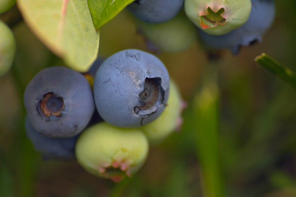 Blueberry: The fruits of Vaccinium genus