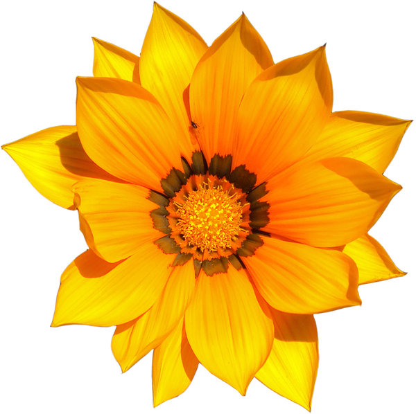 Cape daisy: Vibrant yellow cape daisy