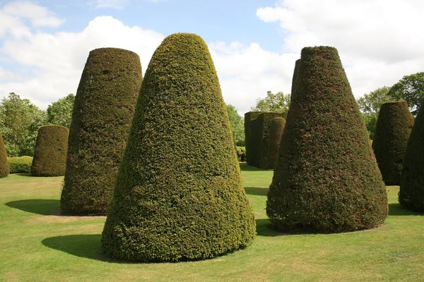 Yew topiary: Yew trees clipped into truncated cones in the garden of a manor house in England.