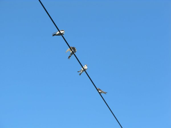 swallows on the wire: none