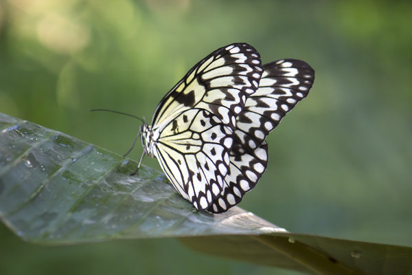 evaluating the risks and benefits of genetically modified m butterfly statement thesis
