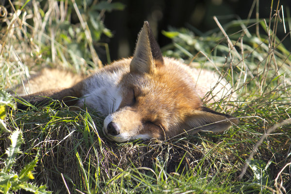 Sleeping fox: A sleeping fox (Vulpes vulpes) in Sussex, England.