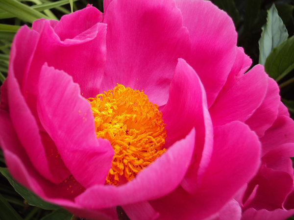 Pink Peonies: Peony rose changing shape as it opens out in response to the sun