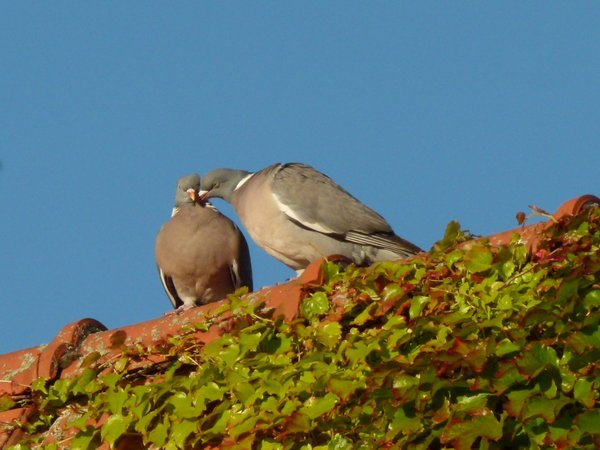 True Love (Pigeons on roof): Late evening sun discovers true love on the roof