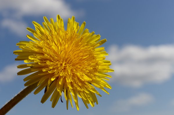 Dandelion, clouds and sky: A dandelion in front of a blue sky with clouds