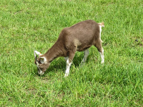 young organic goatling