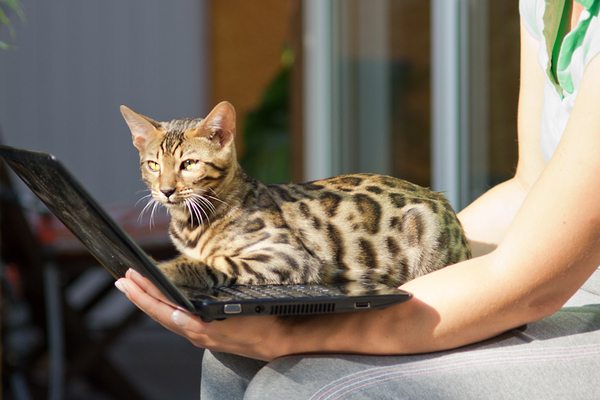 Cat on Notebook: Bengal Cat 'working' on Netbook :)
