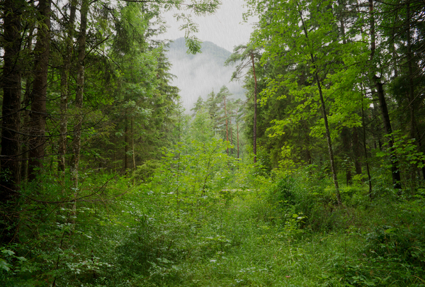 Rain in Forest: Heavy Rain in natural Forest