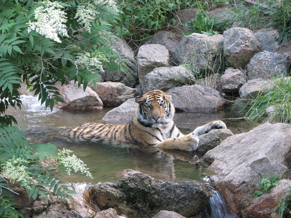Tiger Relaxing in the Stream: A tiger relaxing in a stream