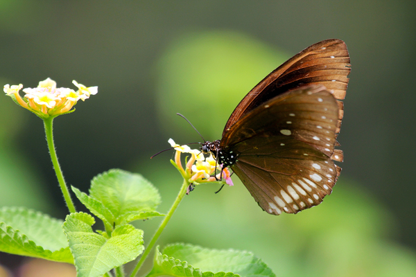Common Crow: Fascinating Butterfly, when airborn, the wings appear light to dark.