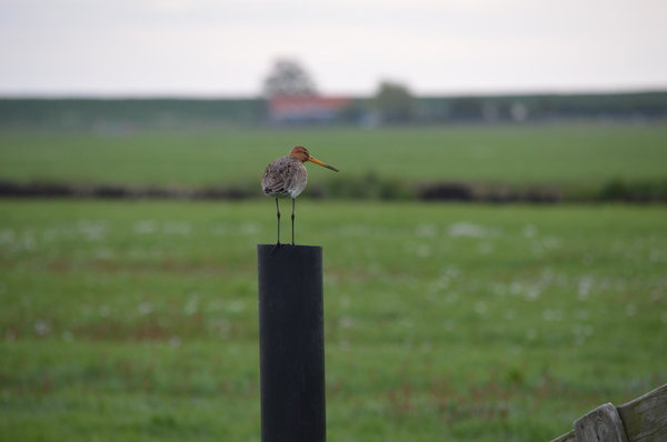 Curlew on a pole