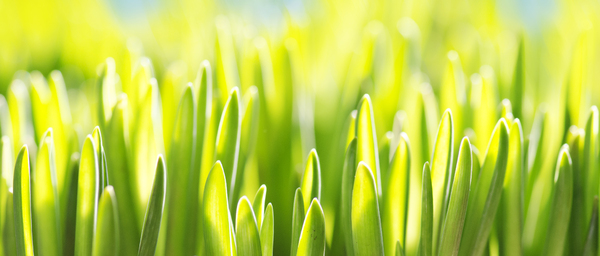 Fresh spring grass: Sunny grass background