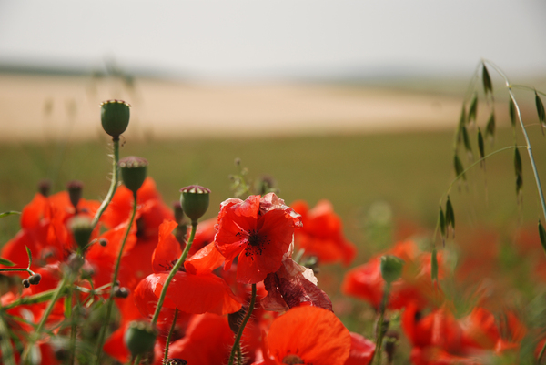 Poppies: Poppies growing in fields - France