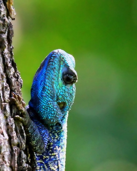 blue-head lizard 4: blue head lizards fighting for domination during breading season