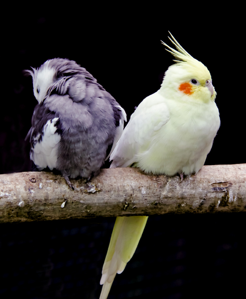 Cockatiels: Two isolated cockatiels on a perch.