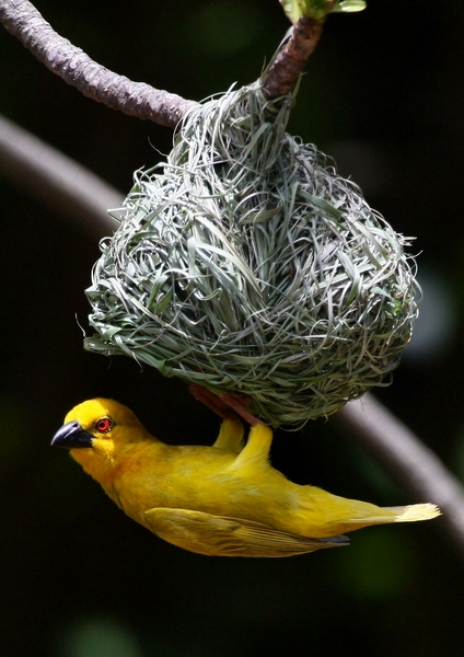Yellow Weavers 5: Yellow weavers, the male builds the nest, the female does the inspection